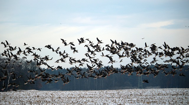 wild-geese-1150134_640